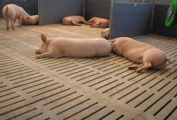 Щелевой пол в свинарнике