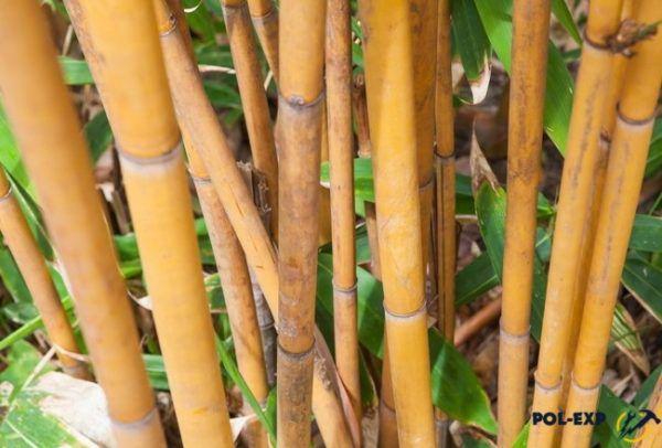Бамбук для производства напольного покрытия