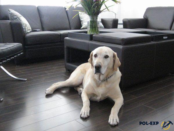 Пес на ламинированном полу