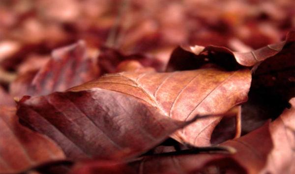 Сухие листья – самый доступный материал для организации подстилки в зиму