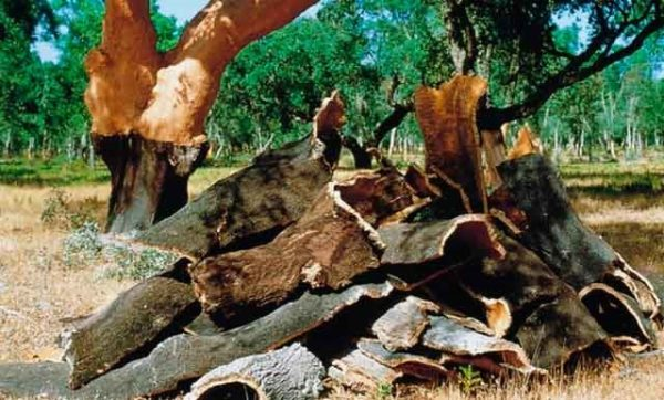 Кора столетнего пробкового дерева