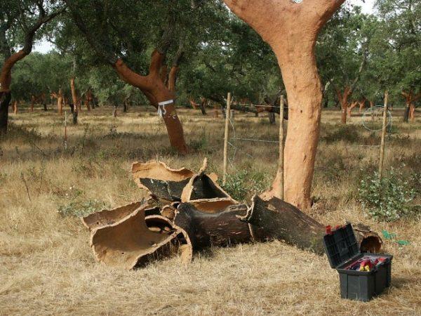 При добыче пробки с дерева просто снимают кору, не срубая его